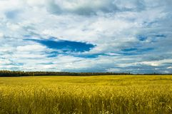 Field landscape. Rural landscape wheat field with forest in the background Royalty Free Stock Images