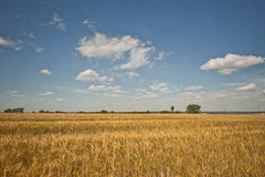 Field landscape with a rye. Royalty Free Stock Photography