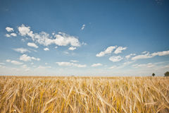 Field landscape with a rye. Royalty Free Stock Photos