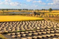Field landscapes. Sweet corn field in north China  make the provision of food for chinese people Stock Photography