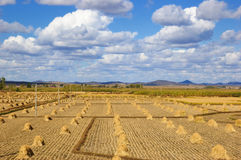 Field landscapes. Sweet corn field in north China  make the provision of food for chinese people Stock Image
