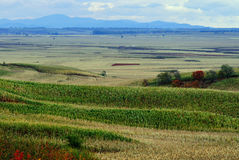 Field landscapes. Sweet corn field in north China  make the provision of food for chinese people Stock Images
