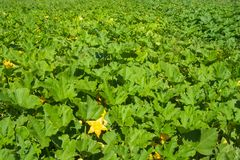 Green leaves of pumpkin plants. Field of large dark green pumpkin plant leaves with a yellow star shaped blossom in foreground Stock Photos