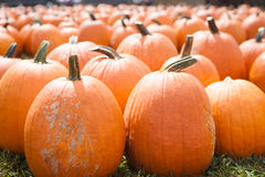 Field of Large Pumpkins Royalty Free Stock Image