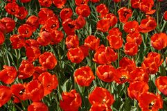The field of large, red tulips. Background of red tulips. Background women`s day Royalty Free Stock Photography