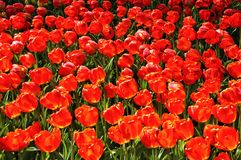 The field of large, red tulips. Background of red tulips. Background women`s day royalty free stock photo