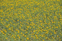 Field of large sunflowers in Southern Spain, on A49 Highway to Palos de la Frontera in the Carte Du Boyageur de La Province de Hue Royalty Free Stock Image