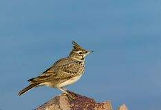 Field-lark Royalty Free Stock Photography