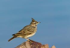 Field-lark. Bird (Alauda) on a stone Royalty Free Stock Photography