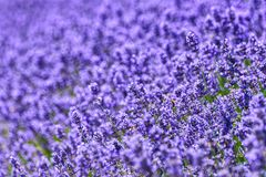 A field of lavander Lavandula with selective focus, portions purposely out of focus for emotional reasons or space for stock image
