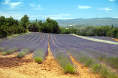The field of lavander Stock Image