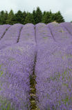 Field of lavendar Stock Photography