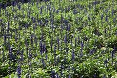 field lavendel Royaltyfri Bild