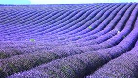 field lavendel Arkivfoto