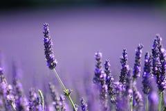 field lavendel Arkivbild