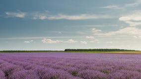 field lavendel Arkivfoton