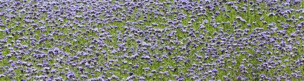 field lavendel Royaltyfri Fotografi