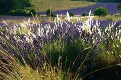 field lavendel provence Royaltyfria Bilder