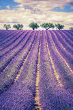 field lavendeltrees Royaltyfri Foto