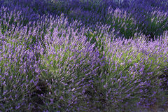Field of lavender. In Provence France royalty free stock image