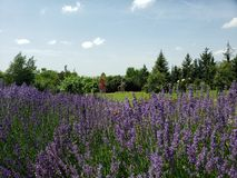 Field with lavender royalty free stock images