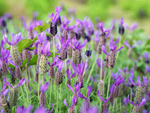 Field of Lavender. Lavender flowers are blooming in spring. Seen in a garden in Kanagawa Prefecture, Japan stock photo