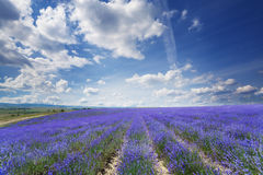 Field of lavender Stock Image