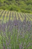 Field of lavender. In summer Royalty Free Stock Photos