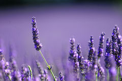Field of lavender. Beautiful purple field of lavender in Provence, France stock photography