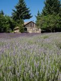 Field of lavender in bloom Stock Photos