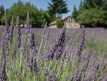 Field of lavender in bloom Stock Photography