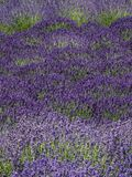 Field of lavender in bloom Stock Images