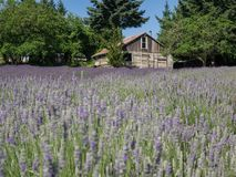 Field of lavender in bloom Stock Photo
