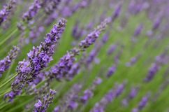 Field of lavender blooms. A field of purple lavender flowers with close focus on one stem royalty free stock image