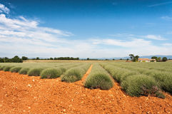 Field of lavender blossoms. Against the blue sky and red ground Royalty Free Stock Images