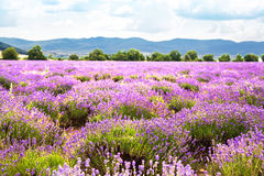 Field of lavender royalty free stock photo