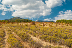 Field with lavender in Crimean mountains Stock Photos