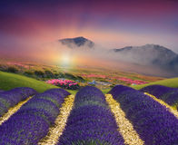 The field lavender field. Colourful lavender field and mountains Stock Images