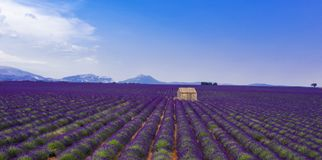 Field of lavender. Aerial view royalty free stock photo