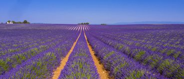 Field of lavender. Provence in France royalty free stock photography
