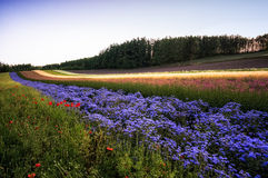 Field of lavender Royalty Free Stock Images