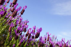 Field of lavender flowers against blue sky Royalty Free Stock Image