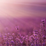 Field lavender flowers. Blurred summer background of wild field lavender flowers royalty free stock photos
