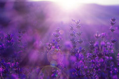 Field lavender flowers. Blurred summer background of field wild grass and lavender flowers Stock Image