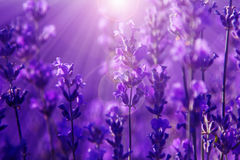 Field lavender flowers Royalty Free Stock Images