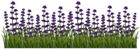 Field of lavender flowers. Illustration Stock Image
