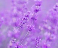 Field lavender flowers. Field lavender morning summer blur background wallpaper stock photos