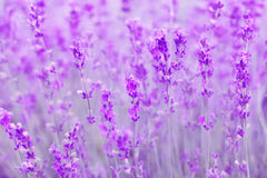 Field lavender flowers. Field lavender morning summer blur background wallpaper royalty free stock photos