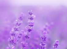 Field lavender flowers. Field lavender morning summer blur background wallpaper Stock Image
