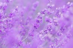 Field lavender flowers morning. Field lavender morning summer blur background wallpaper stock photography
